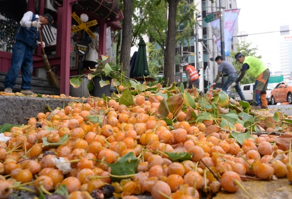 완연한 가을 날씨를 보이고 있는 23일 오전 서울 중구 청계천 인근에서 중구청 관계자들이 은행나무 열매를 수거하고 있다. 2015.09.23. ⓒ뉴시스·여성신문