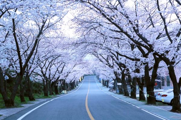 쌍계사 십리 벚꽃 길 ⓒ김경호
