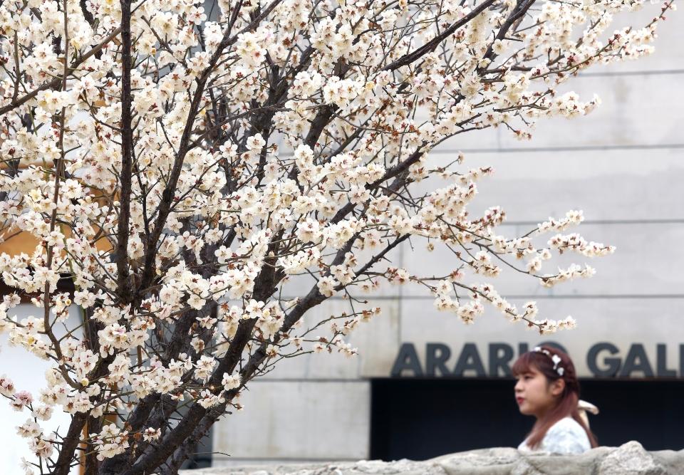 20일 서울 종로구 국립현대미술관 서울관 인근을 지나가는 관광객들이 활짝 핀 벚꽃을 바라보고 있다.