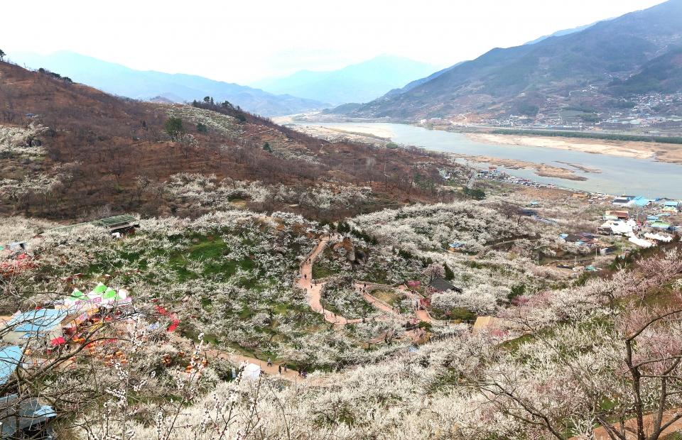 매화꽃이 만발한 전남 광양 홍쌍리매실가에서 내려다본 섬진강