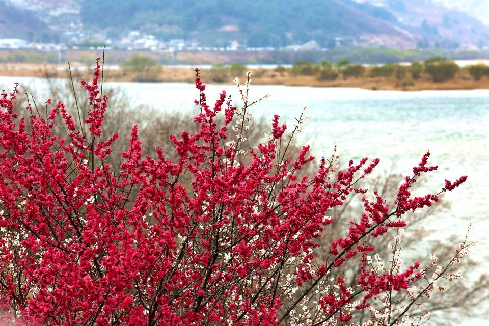 섬진강변에 붉게 핀 홍매화 ⓒ김경호