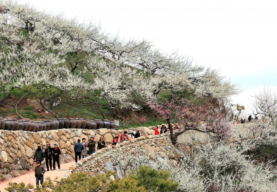 전남 광양 매화마을을 찾은 관광객들