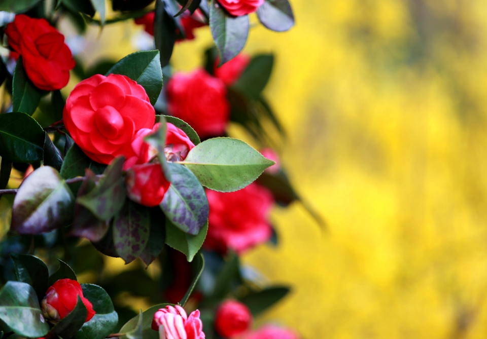 경남 하동 화개장터에서 쌍계사 가는 길가에 핀 동백꽃이 산수유와 어우러져 아름답다.