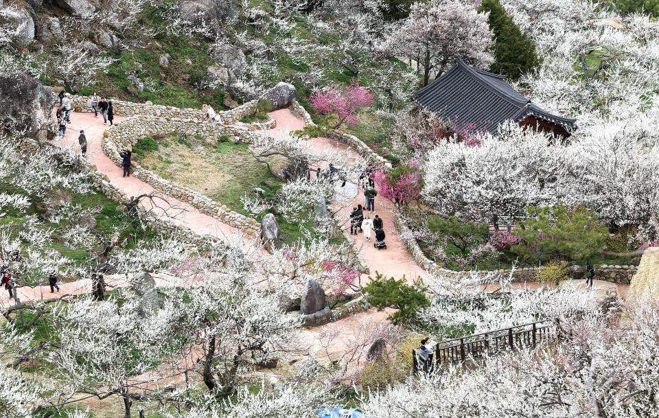 전남 광양 매화축제가 열리고있는 홍쌍리매실가에서 꽃길을 걷고 있는 관광객들
