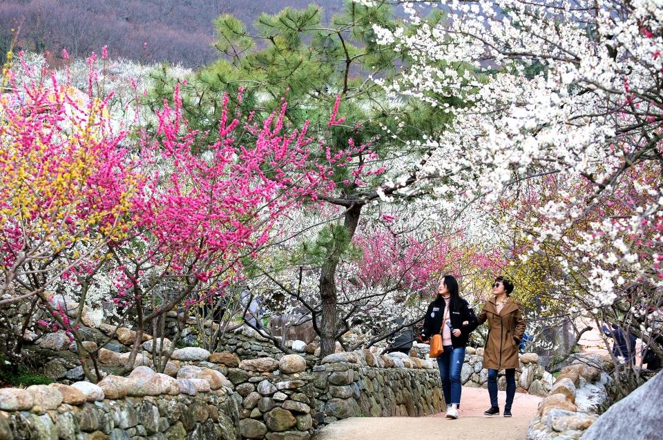 광양 매화마을에서 꽃길을 걸으며 봄을 만끽하는 관광객들