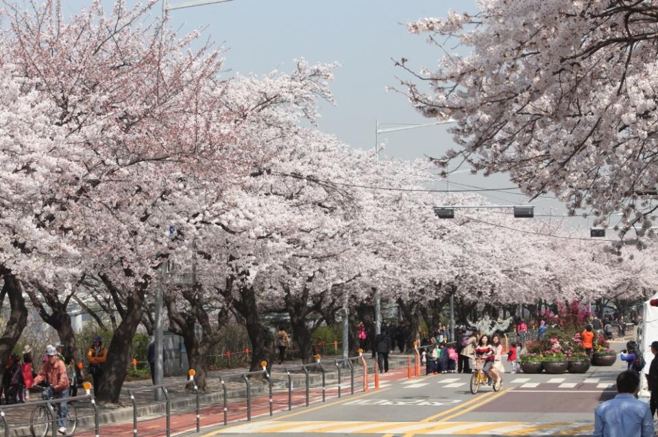 영등포 여의도봄꽃축제 ⓒ한국관광공사