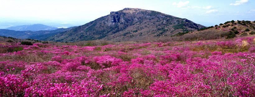 비슬산 참꽃문화제 ⓒ한국관광공사