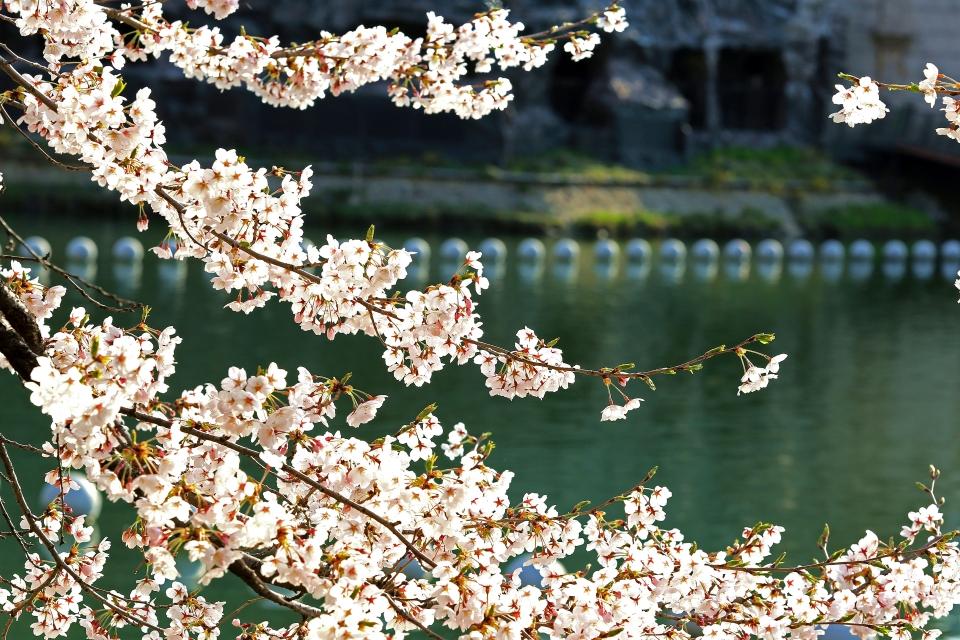 석촌호수길에 활짝 핀 벚꽃이 아침햇살을 받아 아름다움이 더 하다. ⓒ김경호