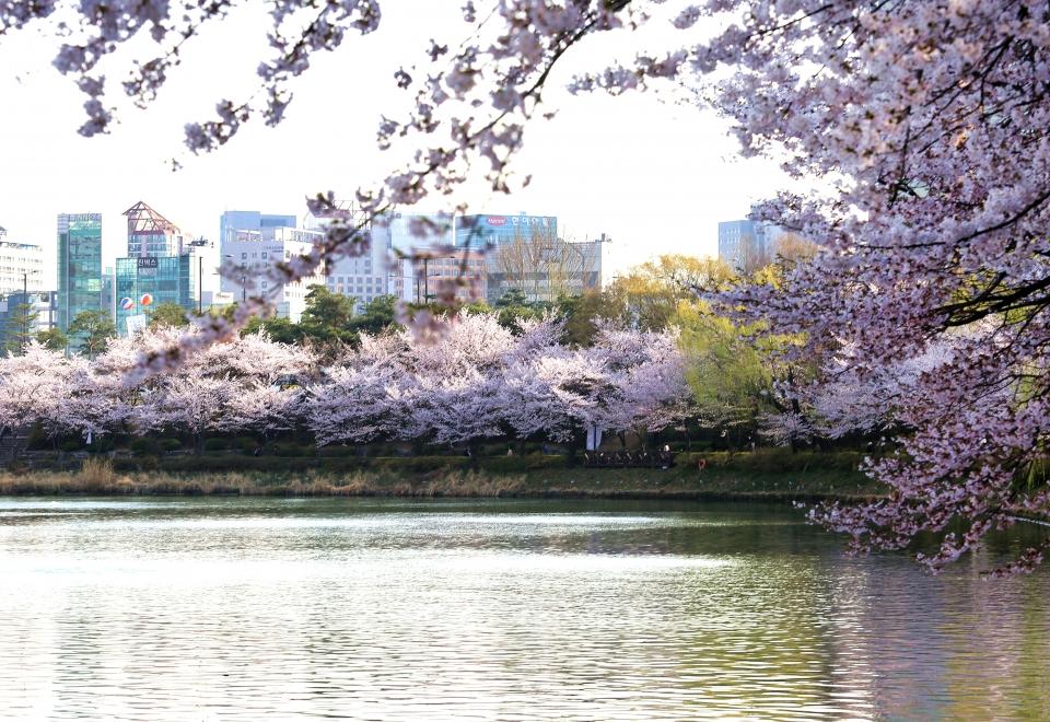 석촌호수 길을 따라 벚꽃이 활짝 피었다. ⓒ김경호