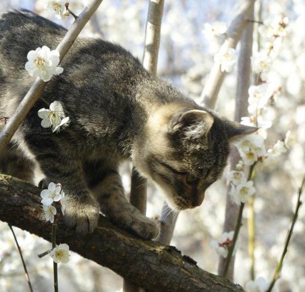 매화 꽃 사이에서 봄을 만끽하는 고양이. 사진_조현주