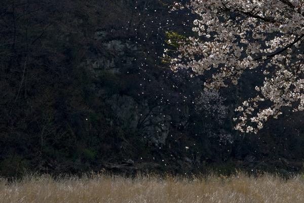 봄바람 휘날리며 흩날리는 벚꽃 잎. 사진_조현주