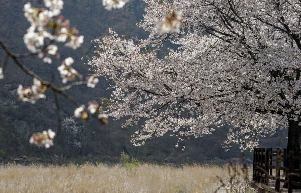 빛을 받아 아름답게 반짝이는 문경 벚나무. 사진_조현주
