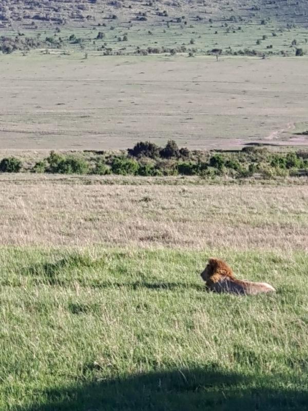 사파리 투어하면서 만난 사자. ©최형미