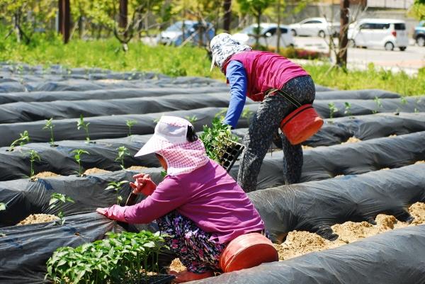 농사 일을 짓고 있는 여성농민들 / 전국여성농민회총연합 ⓒ전국여성농민회총연합