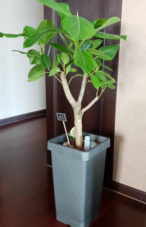 집안에 안정감을 주는 초록 벵갈나무. 사진 _구혜경