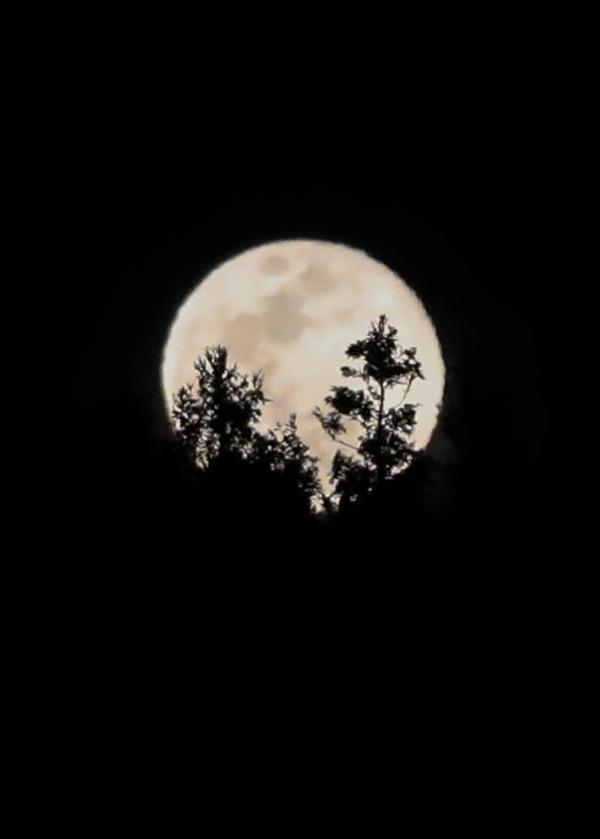 제주시 애월읍 봉성리 새별오름 인근 숲 위로 뜬 보름달. ⓒ뉴시스·여성신문