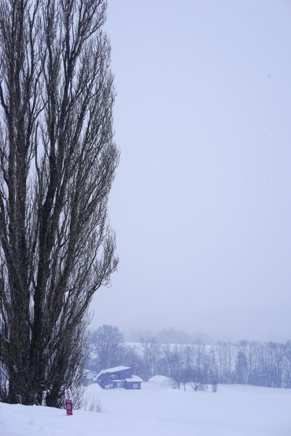혹독한 겨울 추위와 눈 속에서도 나무가 풍성하고 곧다 (일본 비에이)  사진_조현주