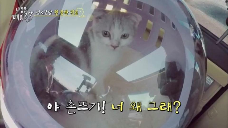 12일 방송된 tvN '냐옹은 페이크다'는 1화 때 지적된 문제점들을 단 하나도 고치지 않았다. 시종일관 인기품종묘 스코티시 폴드종의 껌이는 보호소 출신 길고양이 봉달이에게  '촌뜨기'라고 불렀다. ⓒ캡처