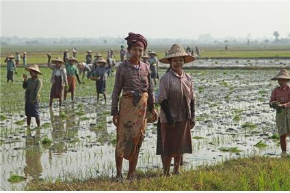 네피도 교외의 논에서 모내기하는 여성 농민들. 이들의 하루 임금은 3달러이다. ©조용경