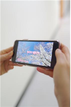 송파TV에서 중계한 석촌호수 서호의 벚꽃 모습을 시청하고있다.
