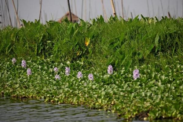 인레 호수에 핀 부레옥잠. ©조용경