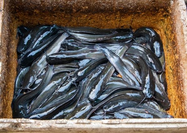 에야와디 강에서 잡은 메기들 ©조용경