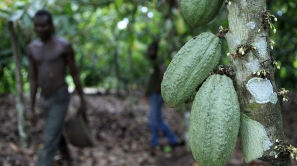 서아프리카 코트디부아르 판골로 지역의 카카오 농장 ⓒAP/뉴시스