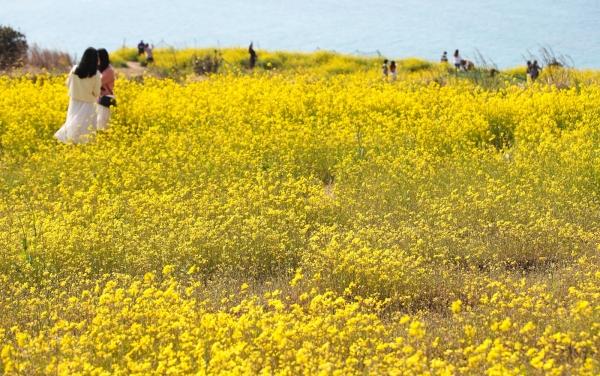 17일 오후 제주시 조천읍 함덕 서우봉에 상춘객들이 찾아와 활짝 핀 유채꽃을 배경으로 즐거운 시간을 보내고 있다.