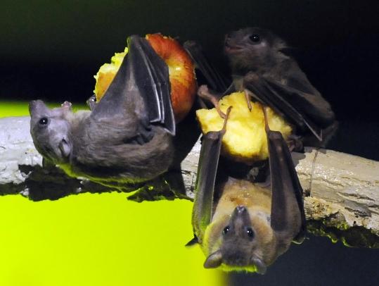 과일박쥐 ⓒ뉴시스·여성신문