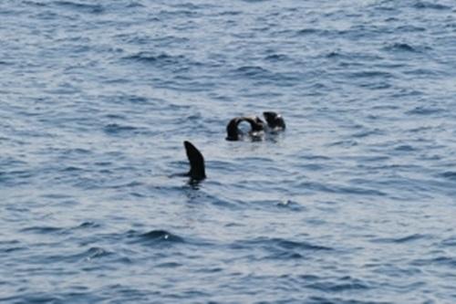 밍크고래 성체의 길이는 9m보다 조금 더 크고 무게는 약 14톤에 달한다. ⓒ국립수산과학원