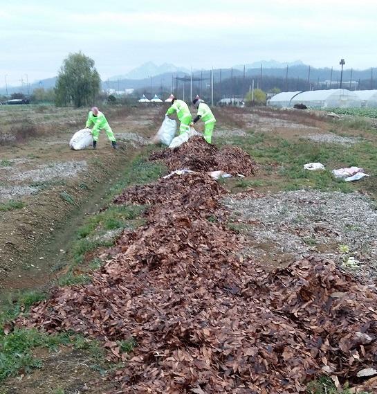 환경미화원들이 이물질과 쓰레기를 분류한 낙엽을 친환경농가에 뿌리는 장면 ⓒ마포구청