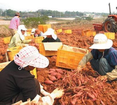 고구마를 수확하고 있는 모습. 사진은 기사와 무관. ⓒ여성신문