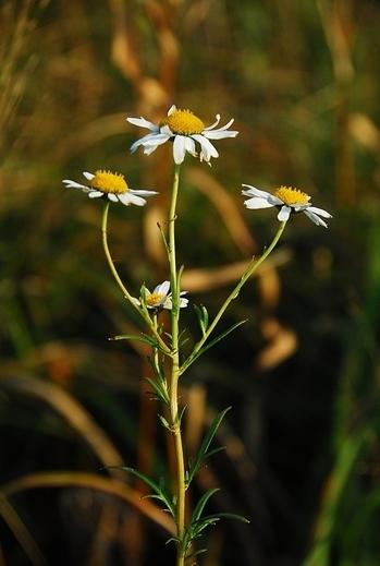 키큰산국이란 국화과의 여러해살이풀로 희귀 및 멸종 위기종으로 지정됐다. ⓒ생물학연구정보센터(BRIC) 홈페이지