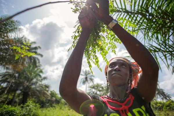 모링가 재배에 몰두하고 있는 기니의 여성 농민. ⓒUN Women/Joe Saade