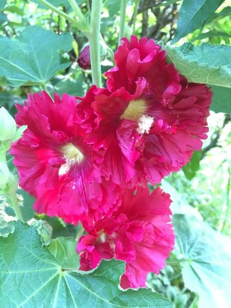 접시꽃 ⓒ김경애 편집위원